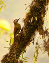 Free A Golden-Olive Woodpecker Stock Image - 19871811
