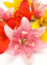 Free Color Lilies Stock Image - 19877811