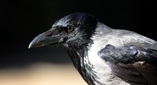 Free Hooded Crow Royalty Free Stock Photos - 19871628