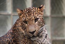 Free Sri Lankan Leopard Stock Photos - 19871883