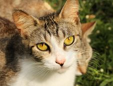 Free Yellow Eye Cat Royalty Free Stock Image - 19872996