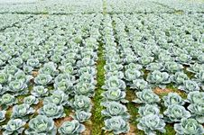 Big Cabbage Farm On The Mountain Stock Images