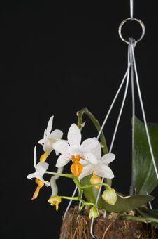 Free Orchid Phalaenopsis Hybrid Over Black Royalty Free Stock Image - 19873176