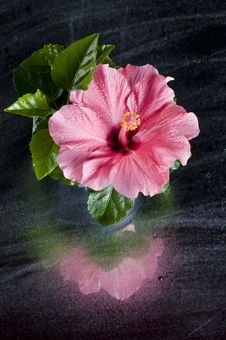 Beautiful Pink Hibiscus Flower Over Black Stock Photography