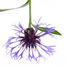 Free Cornflower Royalty Free Stock Photography - 19873357