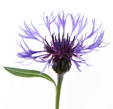 Free Cornflower Royalty Free Stock Images - 19873369