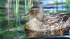 Free Mallard Duck Royalty Free Stock Photography - 19873547