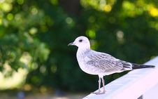 Free Seagull On Green Background Stock Photos - 19873563