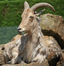 Free Barbary Sheep Royalty Free Stock Photo - 19873585