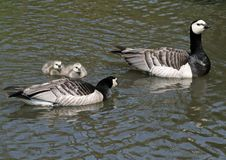 Barnacle Geese And Goslings Royalty Free Stock Photography