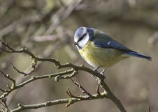 Free Blue Tit Royalty Free Stock Photo - 19873715