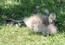 Free Canada Goose Gosling Royalty Free Stock Photo - 19873725