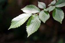 Free Beech Tree Leaves Royalty Free Stock Photography - 19873837