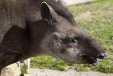 Free Tapir Royalty Free Stock Photos - 19873838