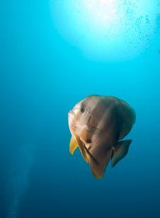 Free Teira Batfish Royalty Free Stock Photography - 19874007