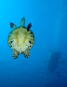 Free Green Turtle Royalty Free Stock Images - 19874069