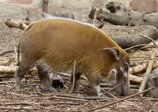 Free Red River Hog Royalty Free Stock Photography - 19874097
