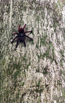 Free Tarantula Spider On Her Tree Royalty Free Stock Photography - 19874597