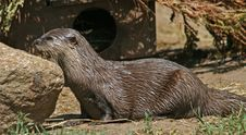 Free Small-clawed Otter 2 Stock Photos - 19874603