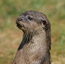 Free Small-clawed Otter 5 Royalty Free Stock Photos - 19874678