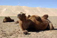 Free Camel In Mongolia Royalty Free Stock Photo - 19875045