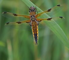 Four-Spotted Chaser Dragonfly 4 Royalty Free Stock Image