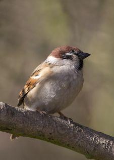 Free Tree Sparrow ( Passer Montanus) Stock Photo - 19876430