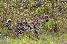 Free African Leopard Royalty Free Stock Photo - 19876545