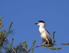 Free Bllack-crowned Night Heron Royalty Free Stock Photos - 19876548