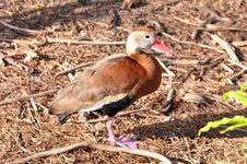 Black Bellied Whistling Duck Royalty Free Stock Images
