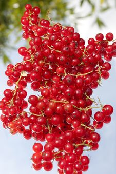 Free Red Currant Royalty Free Stock Photo - 19877045