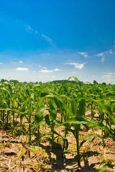 Free Early Corn Stock Photo - 19877210