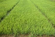 Free Rice Seedlings Stock Images - 19877324