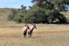 Free Gemsbok In Kalahari Royalty Free Stock Images - 19877559