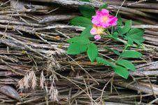 Free Wild Rose Flower Close-up Royalty Free Stock Image - 19879276