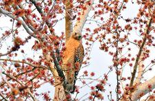 An American Southern Bald Eagle - Juvenile Stock Photo