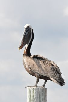 Free A Brown Pelican Stock Photos - 19879333