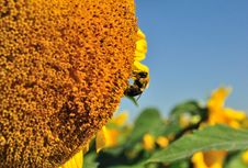 Free Sunflower And Bumble Bee Royalty Free Stock Photos - 19879448