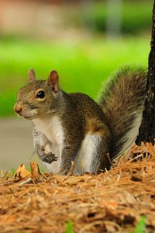 Free An Eastern Grey Squirrel Royalty Free Stock Photo - 19879455