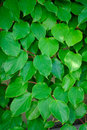 Free Green Actinidia Leaves Royalty Free Stock Images - 19881649