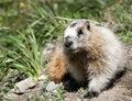 Free Groundhog Marmot In Wild Royalty Free Stock Photo - 19885865