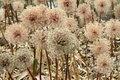 Free Giant Onion (Allium Giganteum) Stock Images - 19889454