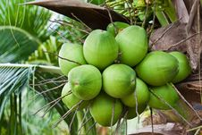 Free Coconuts Stock Image - 19881401