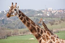 Free Giraffes In The City Stock Photo - 19882030