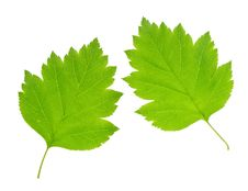 Free Green Leaf Isolated Stock Photo - 19883750