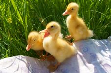 Free Ducklings Royalty Free Stock Images - 19884109