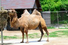 Free Two-hump Camel Eating Lunch Royalty Free Stock Photography - 19885407
