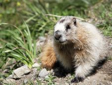 Free Groundhog Marmot In Wild Royalty Free Stock Photo - 19885865
