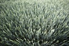 Free Organic Green Wheat Royalty Free Stock Photo - 19886015