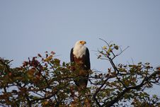 Free White Tailed Fish Eagle Stock Photography - 19886202